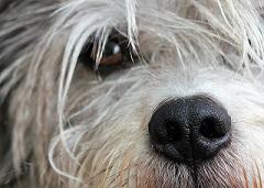 Ophtalmologie chez le chien et le chat