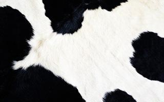 Atelier pratique sur le diagnostic et la gestion de l'endométrite dans les troupeaux laitiers