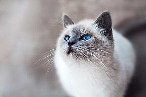 Approche clinique et traitement de cas de comportement chez le chat