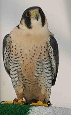 La réhabilitation des oiseaux de proie (en ligne)