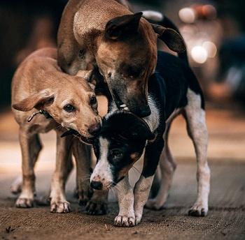 Dépistage des comportements agressifs anormaux chez le chien